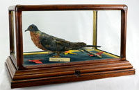 Taxidermied now-extinct passenger pigeon in handcrafted glass and wood case. Est. $3,000-$5,000. Nest Egg Auctions photo.
