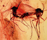 Mating mosquite pair captured in amber, Upper Oligocene Epoch/Paleogene Period, est. $500-$700. I.M. Chait image.