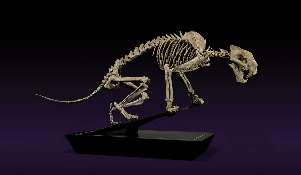 Finest and most-complete extant example of a saber-tooth tiger skeleton, 67 inches long, origin White River Badlands, South Dakota. Estimate $250,000-$300,000. I.M. Chait image.